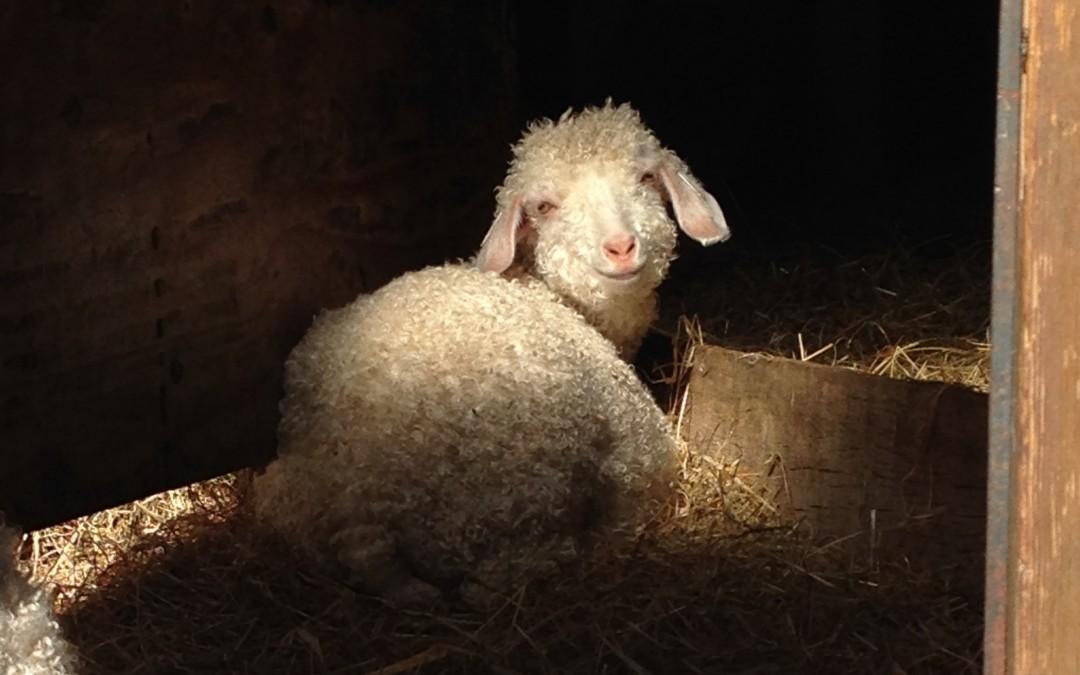 Les belles fibres de Bretagne : le Mohair du Pays de Corlay